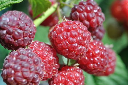 close-up of  raspberry branch  in the garden in sunny summer day 版權商用圖片