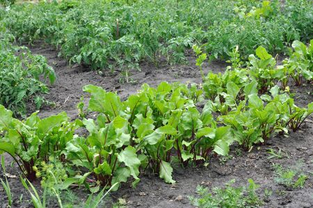 varie verdure coltivate biologicamente nell'orto