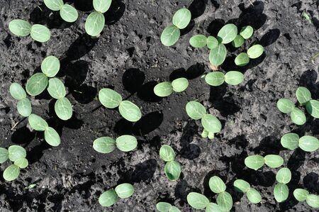 close-up of watermelon sprouts growing in the vegetable garden as a seedlings for  planting, view from above