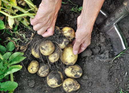 gardeners hands picking fresh organic potatoes in the field, view from above