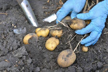 gardeners hands picking fresh organic potatoes in the field
