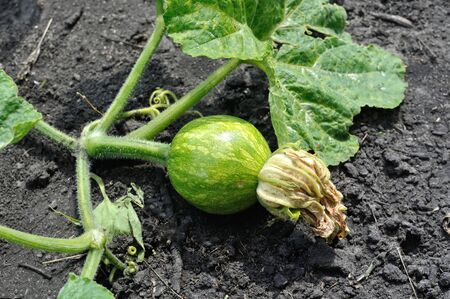 close-up of young pumpkin plant in the vegetable garden