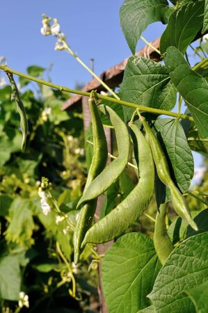 close-up of unripe bean (Phaseolus vulgaris) pods on the vertical support in th vegetable garden, vertical composition
