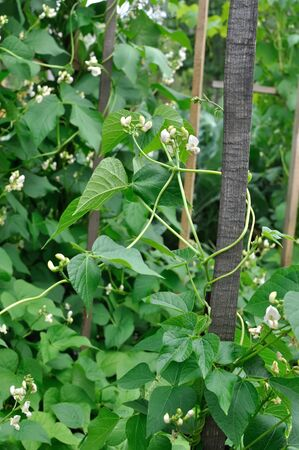 close-up of blooming bean (Phaseolus vulgaris) on the vertical support in th vegetable garden, vertical composition
