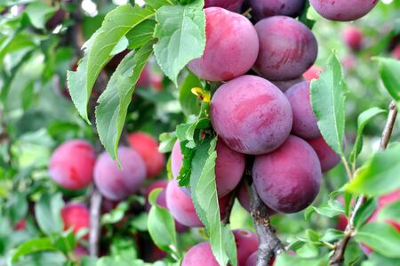 close-up of ripe plums on a tree branch in the orchard