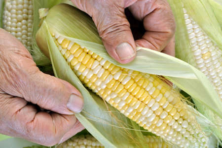 hands of senior woman cleaning freshly harvested young sweet corn in the vegetable garden