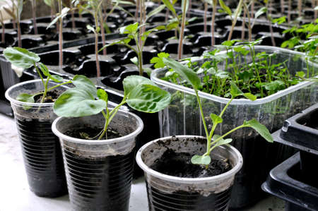 close-up of seedlings of the various vegetables in the greenhouse ready for planting in the vegetable garden