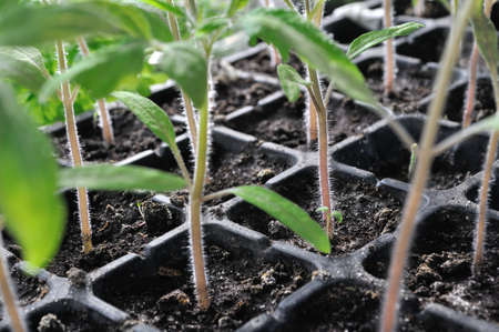 close-up of tomato  seedlings in the greenhouse ready for planting in the vegetable garden Stockfoto