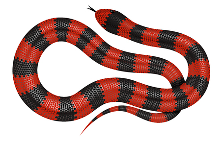 ophidian: Coral snake vector illustration isolated on white background