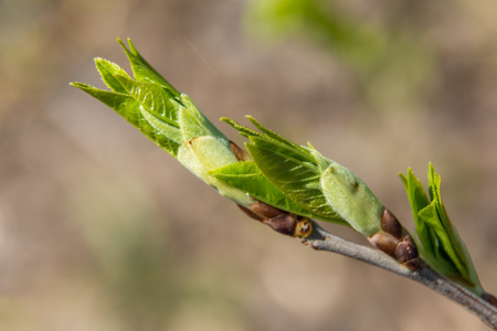 Russia. Saint-Petersburg. At the end of April from the swollen buds on the trees appear the first leaves.