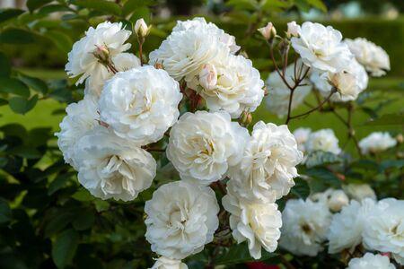 Russia. Lomonosov. Beautiful Bush roses near the big Menshikov Palace in Oranienbaum Park.