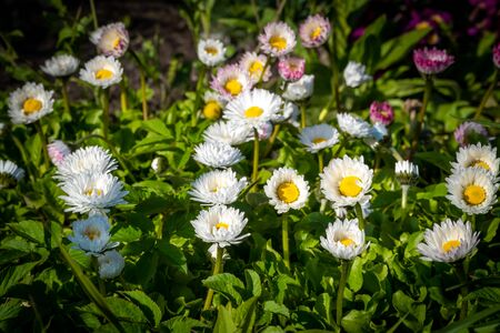 With the onset of heat in may, bright daisies bloomed in the citys flower beds.