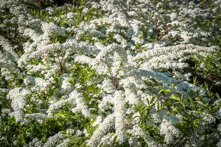 Russia. Saint-Petersburg. In may, spirea bushes bloomed in huge bunches of white flowers in the courtyards and gardens of the city.