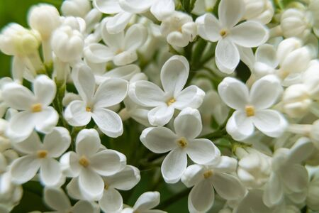 Russia. Saint-Petersburg. Bright white clusters of lilac bloomed with the onset of the warm season in June.