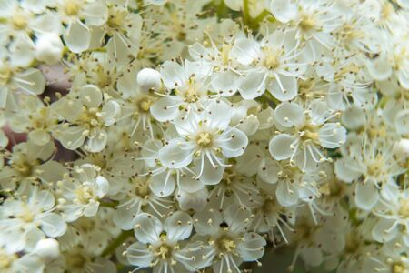 Russia. Saint-Petersburg. Bright white Rowan flowers bloomed with the onset of the warm season in June.