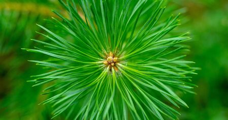 Pine needles diverge from the center. Pine needles close up. Pine, green sprig of pine. Belarusian forest. Background drawn by nature.