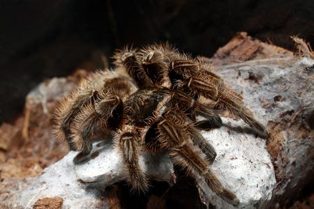 arachnoid: spider tarantula Stock Photo