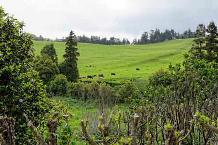 portugal agriculture: A beautiful landscape with cows from the island of Azores in Portugal