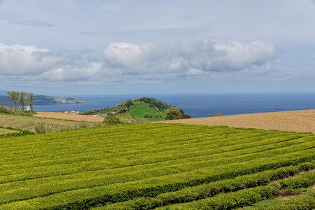 agriculture azores: Tea farm on island Sao Miguel, Azores
