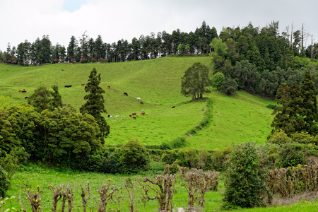 portugal agriculture: Landscape with cows, Sao Miguel, The Azores Islands, Portugal Stock Photo