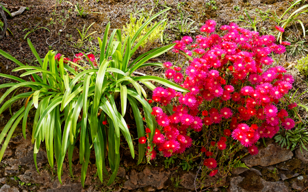 Flowers at the island of Sao Miguel photo
