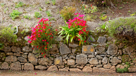 agriculture azores: Flowers at the island of Sao Miguel Stock Photo