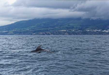 campo: Dolphins in the ocean near the Vila Franca do Campo