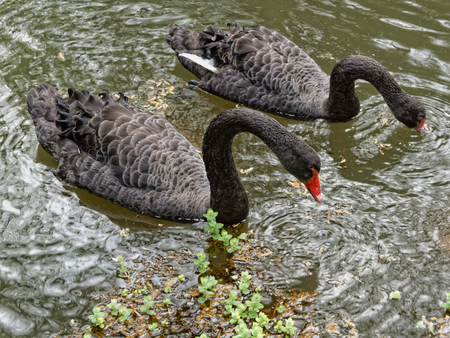The black Swans in the lake in botanical garden of Furnas Sao Miguel photo