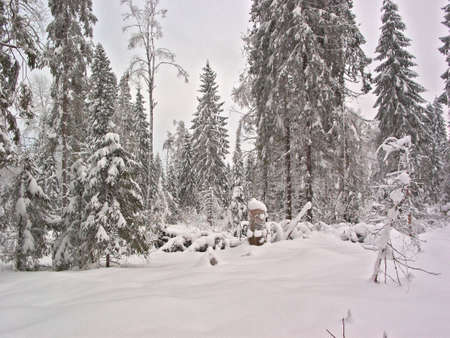 snow clearing: Winter forest. Snow clearing Stock Photo