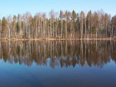 Birches reflection photo