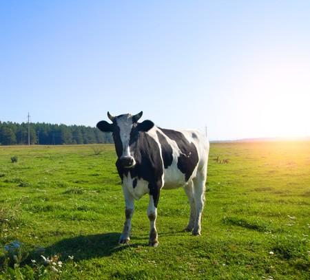las vacas en la pradera