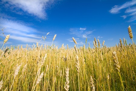 Golden wheat field with blue sky in background  Stock Photo - 7909745