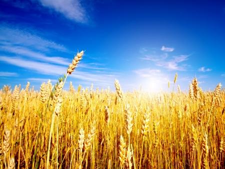 cosecha de trigo: Campo de trigo dorado con cielo azul en segundo plano Foto de archivo