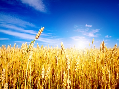 healthy grains: Golden wheat field with blue sky in background