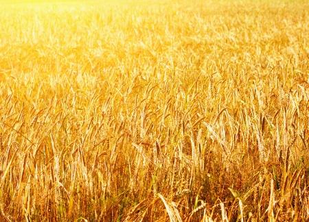 gramineous: Fields of wheat  Stock Photo