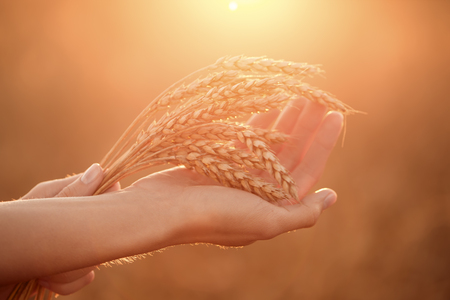generosa: Womans hands hold wheat ears at sunset. Shallow depth of field. Foto de archivo
