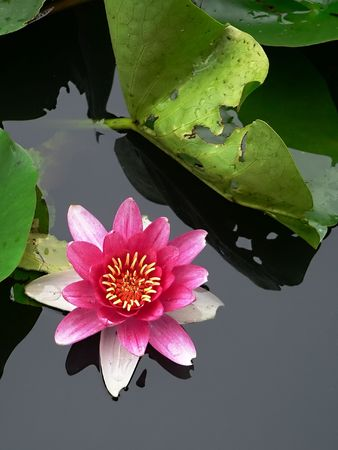 zen flower: blossom lotus flower in japanese pond