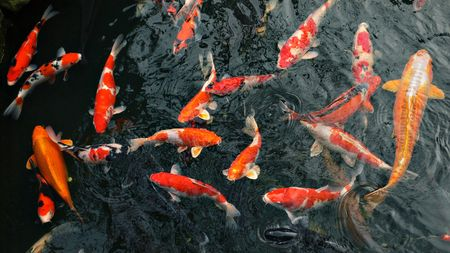 red carp koi fishes in japanese pond Stock Photo