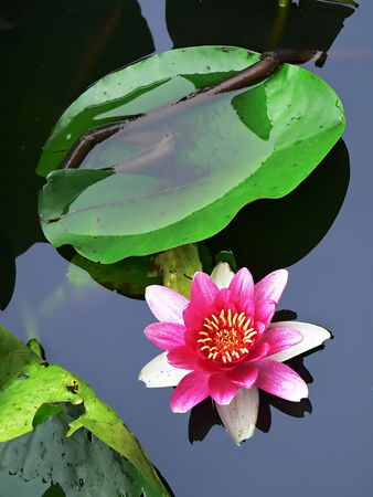 blossom lotus flower in japanese pond