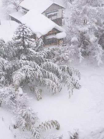 bamboo garden under the snow photo