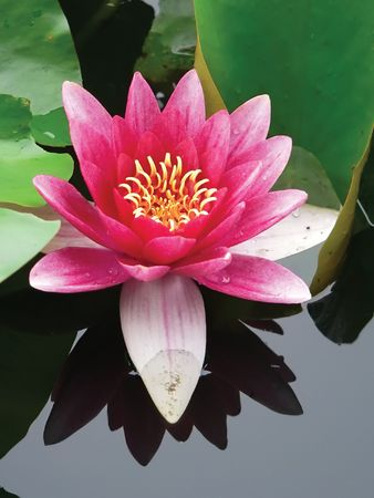 close-up lotus flower