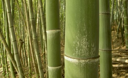 as: warm tones green bamboo forest background, shooting as macro image, so the sharp and clear focus is on first big pole only Stock Photo