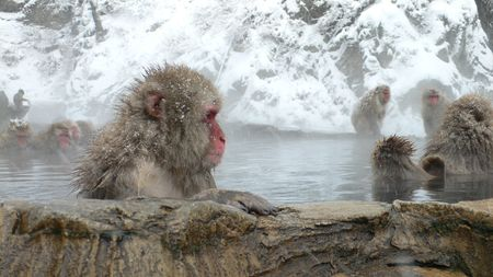 Japanese Macaque in natural hot bath in winter, Nagano Japan