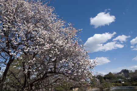 Wiosenne dekoracje w Japonii, kwiat śliwki gałęzi drzewa nad jasny słoneczny z nieba białe chmury Zdjęcie Seryjne - 2677771