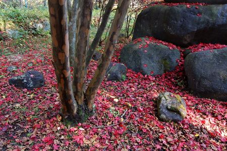 Japanese autumnal background with fallen red maple leafs, big boulders and tree trunk photo
