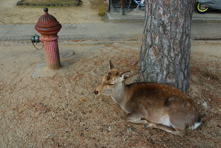 very traditional scene in famous Japanese city of Nara; resting deer close to the sidewalk with fire depot water pipe Фото со стока
