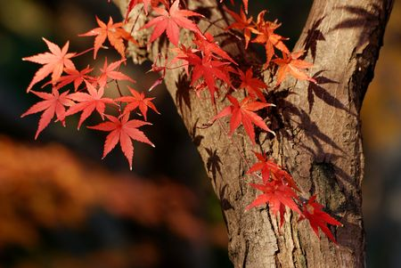 Japanese maple tree with red leafs close-up, focus on left red leafs Stock Photo