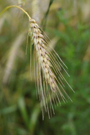 single wheat stalk on field; close up photo ; focus on front corns photo