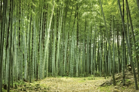 fresh summer atmosphere in bamboo forest  Stock Photo