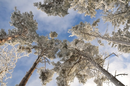 bright tall trees under fresh snow over blue sky Stock Photo - 11720858